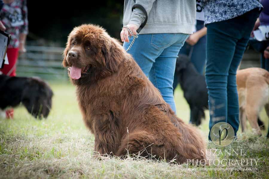 Burton Salmon Dog Show at North Lodge near Knottingley 0010