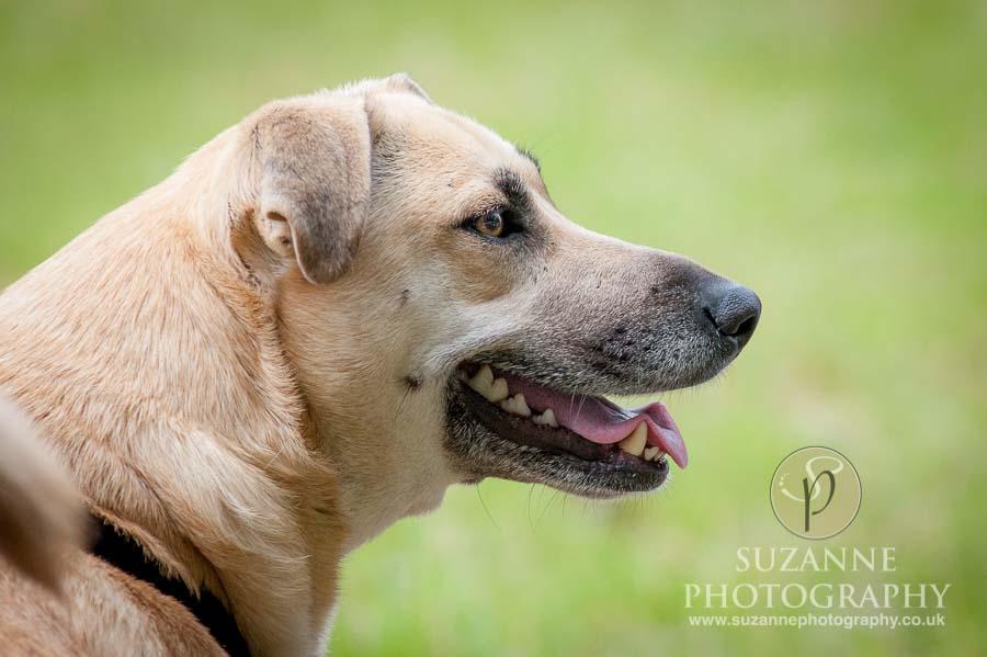 Burton Salmon Dog Show at North Lodge near Knottingley 0056