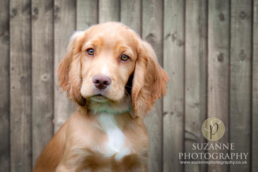 Golden Paws Ranch Dog Show York 0004 C1