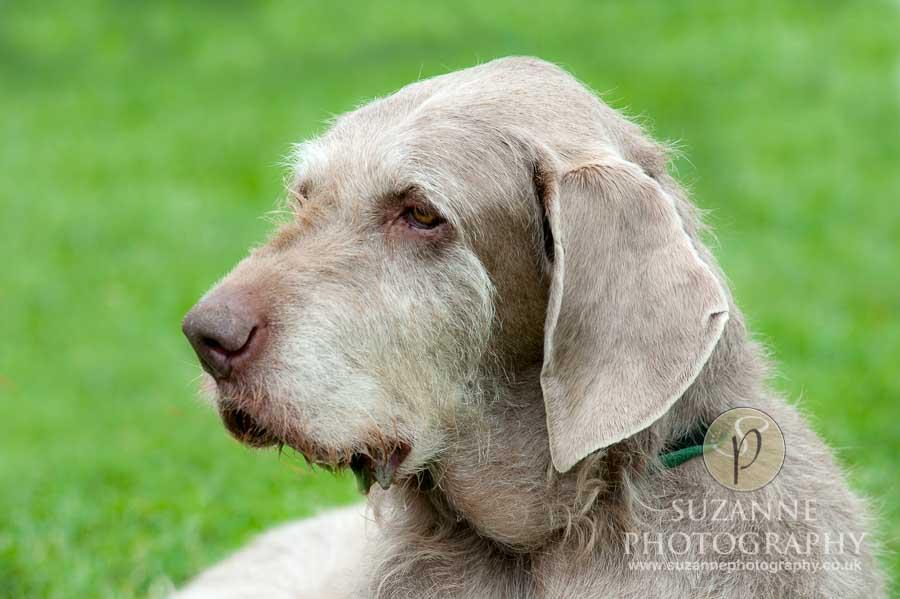 Golden Paws Ranch Dog Show York 0018 C1