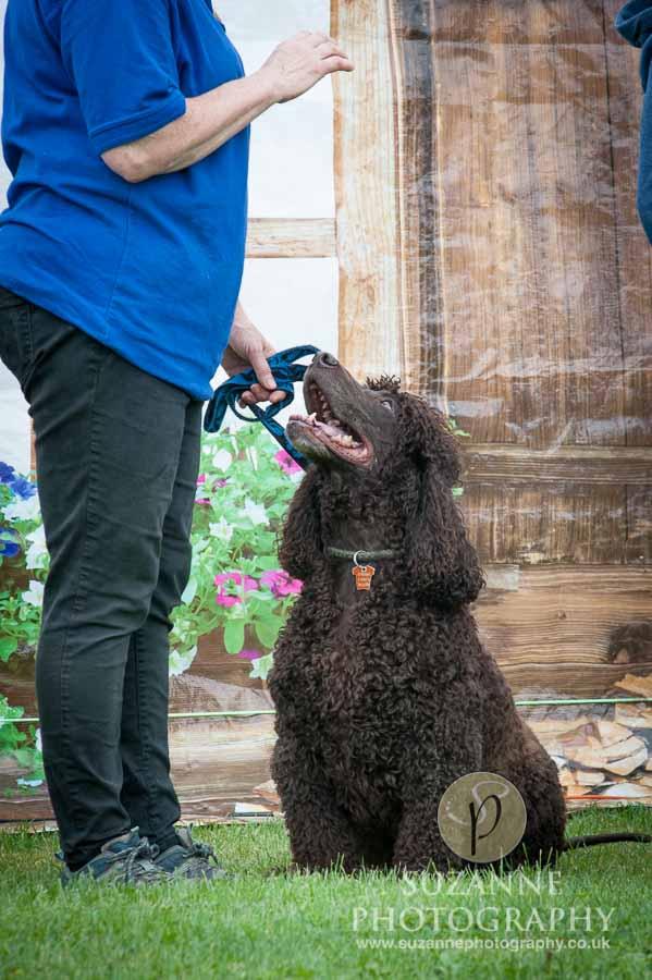 Golden Paws Ranch Dog Show York 0023
