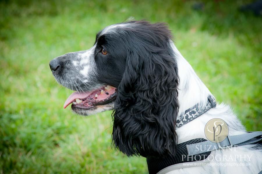 Golden Paws Ranch Dog Show York 0024