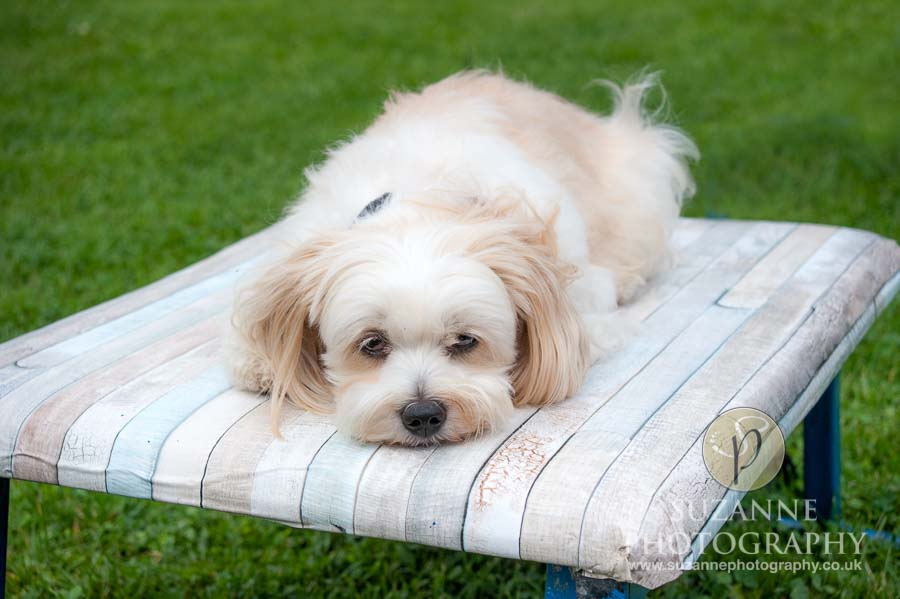Golden Paws Ranch Dog Show York 0068 C1