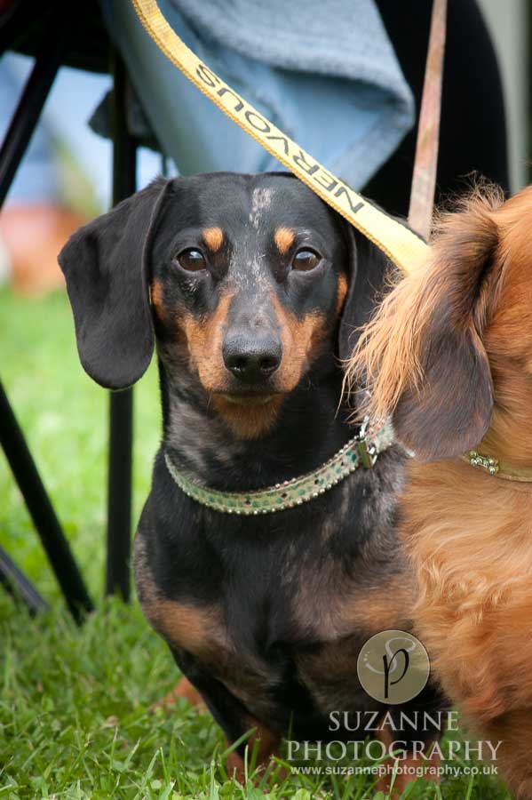 Golden Paws Ranch Dog Show York 0071