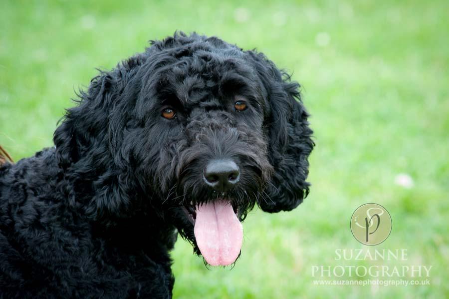 Golden Paws Ranch Fun Dog Show York 0116