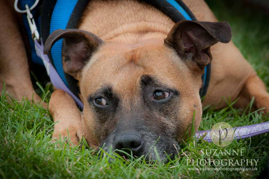 Golden Paws Ranch Fun Dog Show York 0160